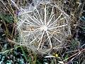 Tragopogon porrifolius SeedsCloseup1 DehesaBoyaldePuertollano.jpg