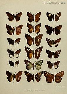 <i>Gangara</i> Genus of butterflies