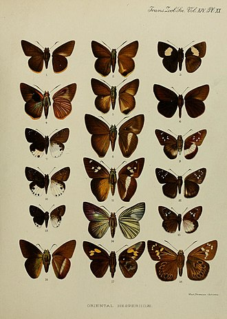 Stimula (butterfly) - Image: Transactions of the Zoological Society of London (1897) Plate XX