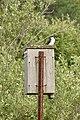 Tree Swallow (Tachycineta bicolor) - Guelph, Ontario 01.jpg
