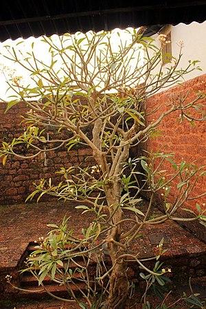 Reis Magos - Tree inside Reis Magos