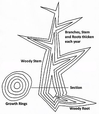 Wood - Diagram of secondary growth in a tree showing idealized vertical and horizontal sections. A new layer of wood is added in each growing season, thickening the stem, existing branches and roots, to form a growth ring.