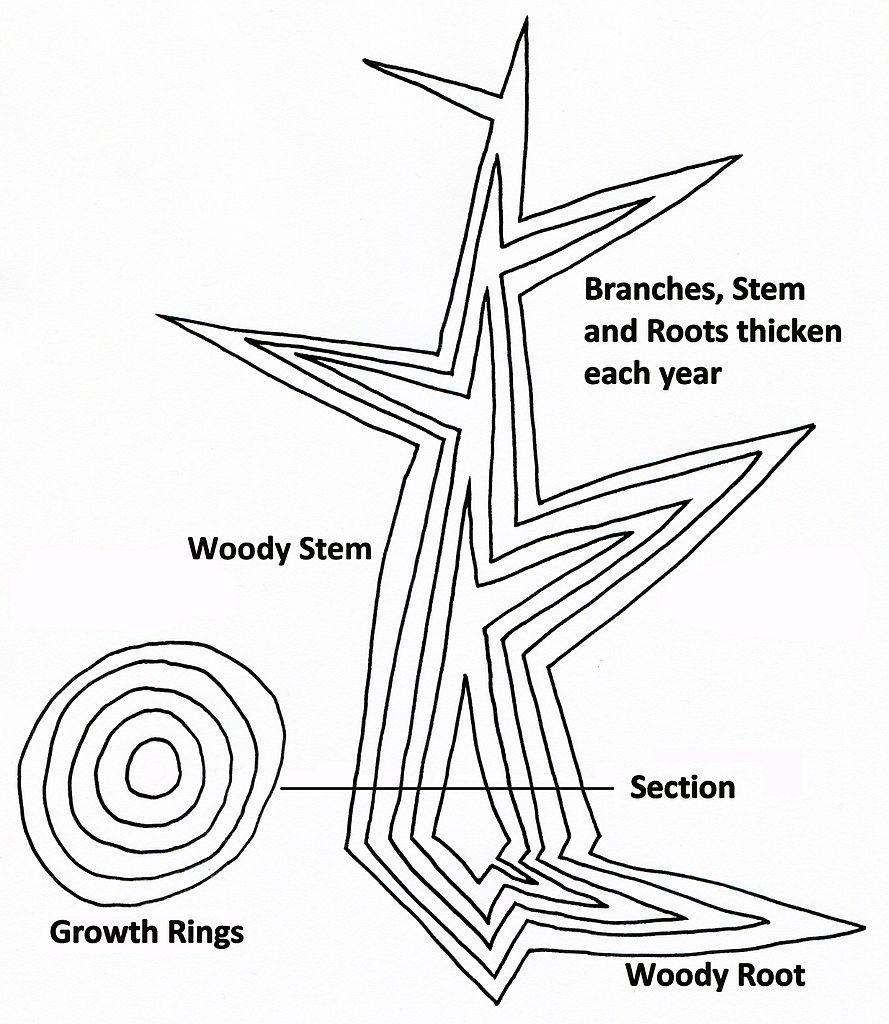 fitxer tree secondary growth diagram jpg
