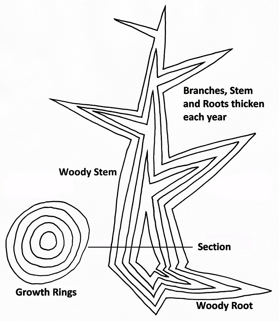 Tree secondary growth diagram