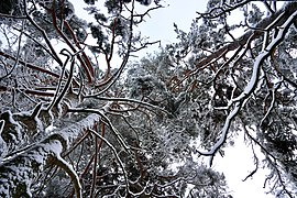 Trees coverd with snow.jpg