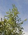Trembling Aspen (Populus tremuloides) - Guelph, Ontario 2019-06-08.jpg