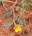 Tribulus eichlerianus flower.jpg