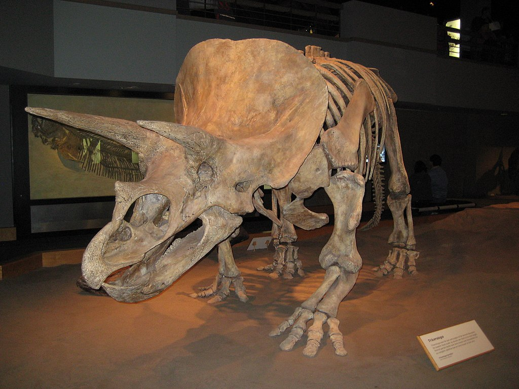 File:Triceratops, Royal Tyrrell Museum Of Palaeontology