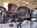 Triceratops Struct.jpg