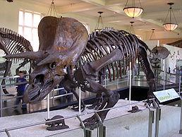 Kostra ceratopsida triceratopse, jednoho z nejznámějších dinosaurů