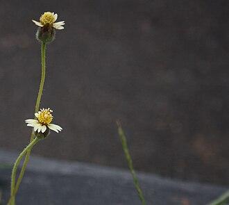 Tridax procumbens - Tridax procumbens
