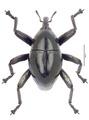 Trigonopterus cooktownensis Riedel, holotype.tif