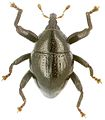 Trigonopterus tibialis holotype - ZooKeys-280-001-g091.jpg