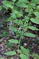 Tripora divaricata - Fleurs-2.jpg