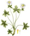 Trollius laxus, Torrey's Flora of NY 1-03.png