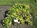 Tropaeolum majus - Botanical Garden in Kaisaniemi, Helsinki - DSC03583.JPG