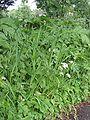 Trosdravik Bromus racemosus subsp. commutatus planten.jpg