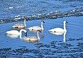 Trumpeter swan on Seedskadee National Wildlife Refuge (24747470007).jpg