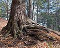 Tsuga canadensis (Canadian Hemlock) (31991200955).jpg