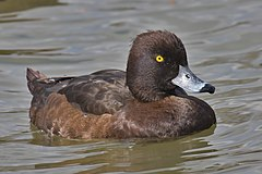 Tufted Duck female.jpg
