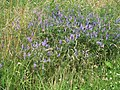 Tufted Vetch (Vicia cracca) - geograph.org.uk - 895506.jpg