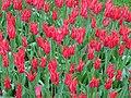 Tulip 1300156.jpg