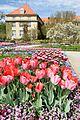 Tulips in bloom at the Botanic Garden in Munich Germany in April 2015.jpg