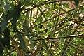 Turdus merula (18465939068).jpg