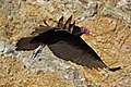 Turkey Vulture (Cathartes aura) (8591589331).jpg