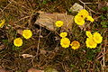 Tussilago farfara, group of flowering plants.jpg