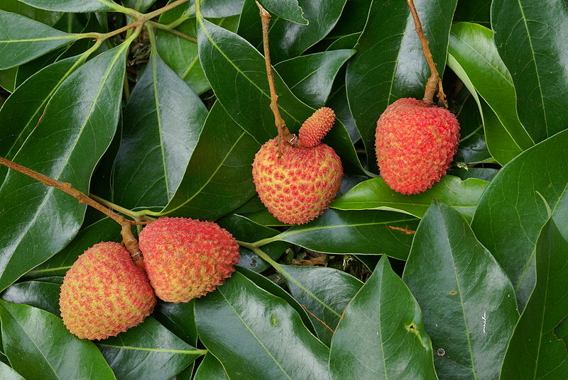 File:Twin lychees (Litchi chinensis)-source.JPG