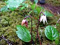 Two Pale Calypso Orchids (2526481665).jpg