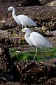 Two Snowy Egrets walk the RPV tide pools.jpg