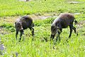 Two young Bornean Bearded Pigs (27573770136).jpg