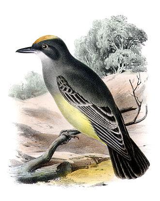 Cassin's kingbird - U.S. Government lithograph of Cassin's kingbird
