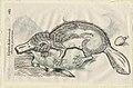Ulisse Aldrovandi - monstrosus pseudoplatypus.jpg