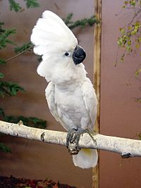 Umbrella Cockatoo (Cacatua alba) -on branch
