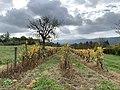 Une vigne près de Billignin (Belley).jpg