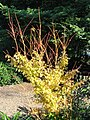 Unidentified plant - J. C. Raulston Arboretum - DSC06280.JPG