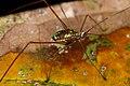Unknown katydid (14339251208).jpg