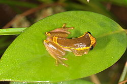 Upper Amazon Tree Frog Dendropsophus bifurcus (14834371804).jpg