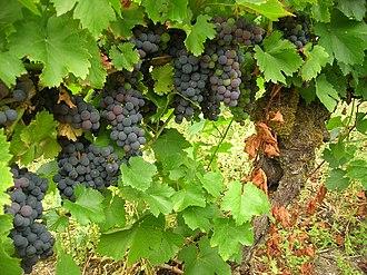 Ribeira Sacra (DO) - Mencia grape growing in Ribeira Sacra
