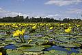 Végétation flottante.jpg