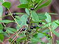 Vaccinium arboreum Brooker Creek.jpg