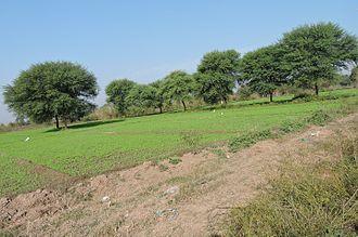 Vachellia nilotica - Image: Vachellia nilotica, Village Behlolpur, Punjab, India