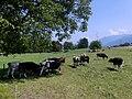 Vaches à Montailloset à Montailleur (été 2021).JPG