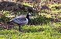 Valgepõsk-lagle - Barnacle goose - Branta leucopsis (1).jpg