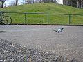 Vancouver-Birds-Pigeon.jpg