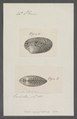 Venus geographica - - Print - Iconographia Zoologica - Special Collections University of Amsterdam - UBAINV0274 077 12 0042.tif