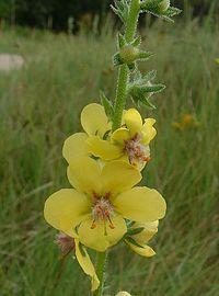 Verbascum blattaria2